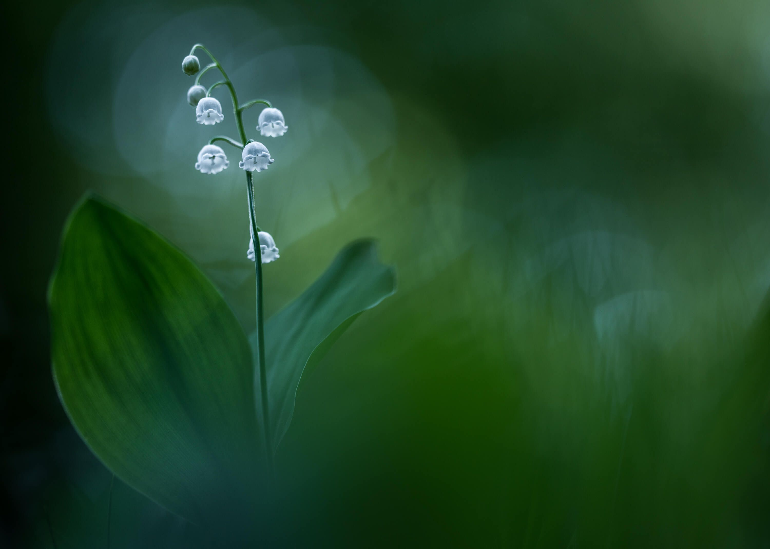 Macro Lilly of the Valley